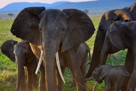 Elephants in Serengeti National Park, Tanzania. Photo submitted by Kelly Flynn '17
