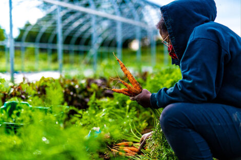 A student picks carrots, wearing a mask.