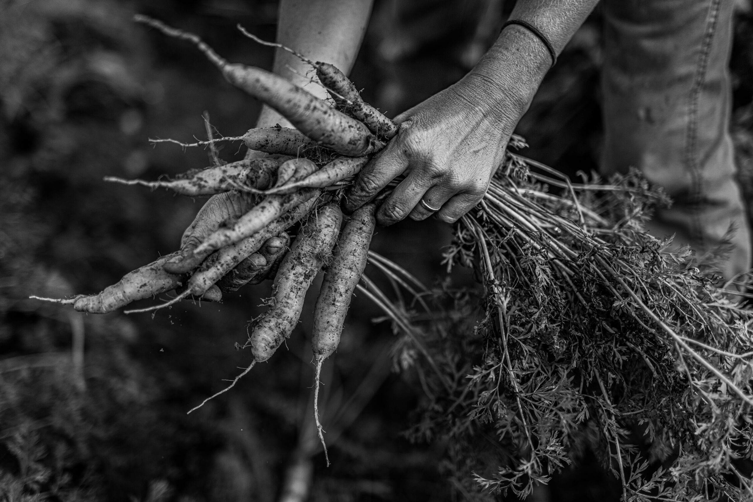 Black and White photo of hands pulling carrots from soil