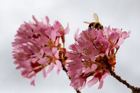 A bumble bee sits on top of a cherry blossom.