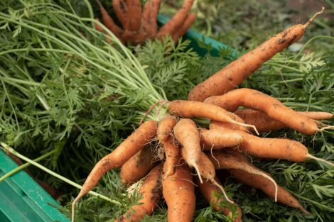 Bunches of carrots in a container.