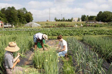 Farmers pick scallions at LaFarm.