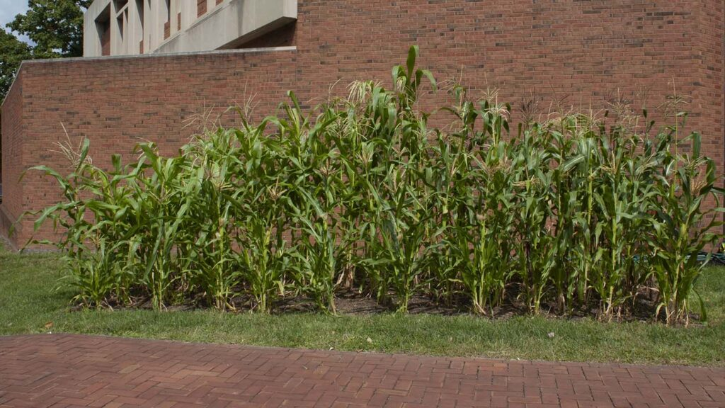 Rows of corn grow on the grass in front of Williams Arts Center