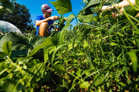 A student tends to produce at Easton Urban Farm.