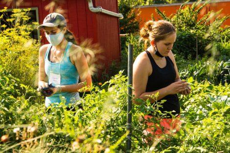 Two students gather produce at Easton Urban Farm.
