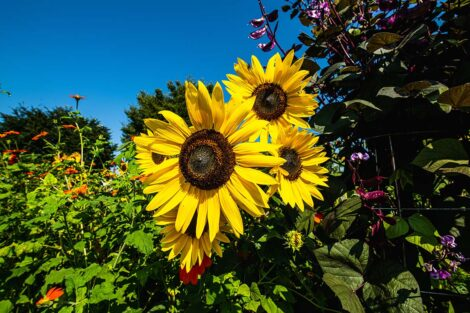 Sunflowers surrounded by other flowers at Easton Urban Farm.