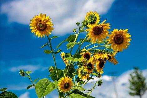 Sunflowers at LaFarm