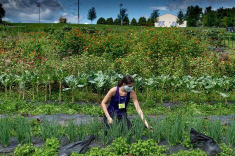 A student, wearing a mask, tends to crops in the middle of LaFarm, surrounded by greens and produce.