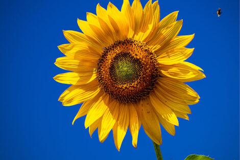 A sunflower against a clear blue sky.